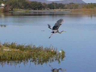 click to start heron in flight video