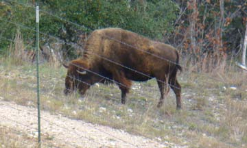 Buffalo in Texas