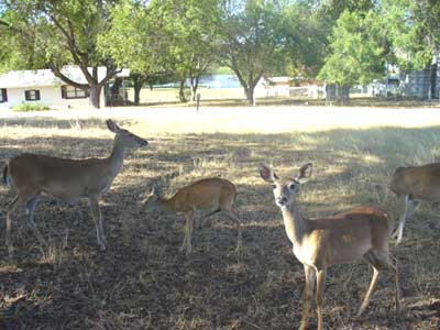 Deer in Sandy Harbor Texas