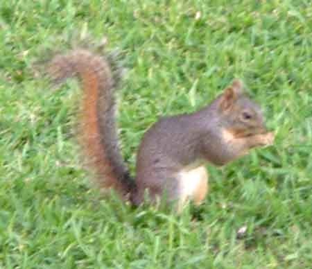Squirrel in Austin Texas